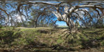 panorama of gum tree